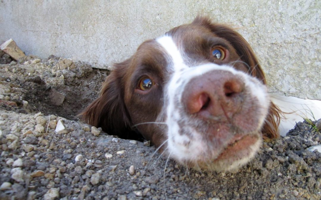 Reasons Why Dogs Enjoy Digging