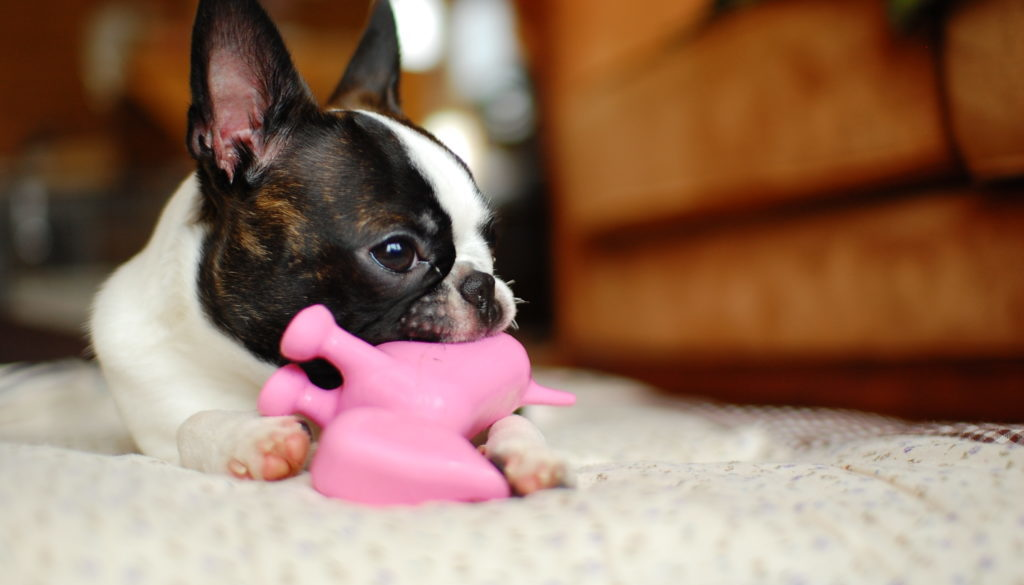Boston_terrier_with_toy