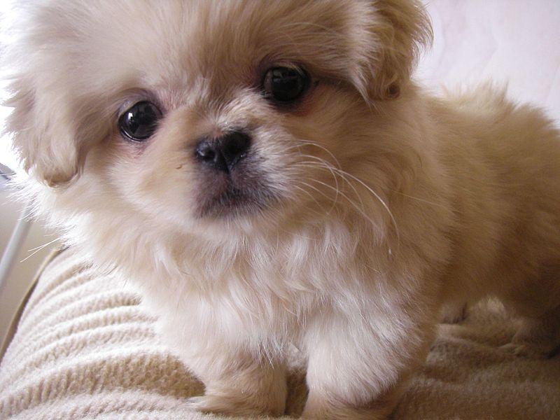 pekingese_puppy